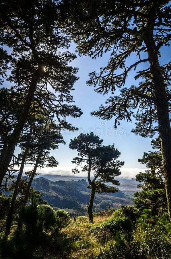 Pinheiros nas montanhas de Califórnia com a névoa que rola dentro da costa imagem de stock