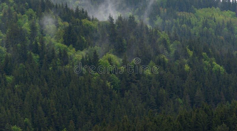 Pinheiros nevoentos após tempestades pesadas nas montanhas Carpathian fotografia de stock