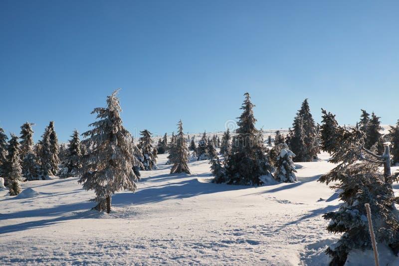 Pinheiros no sol e na neve imagens de stock