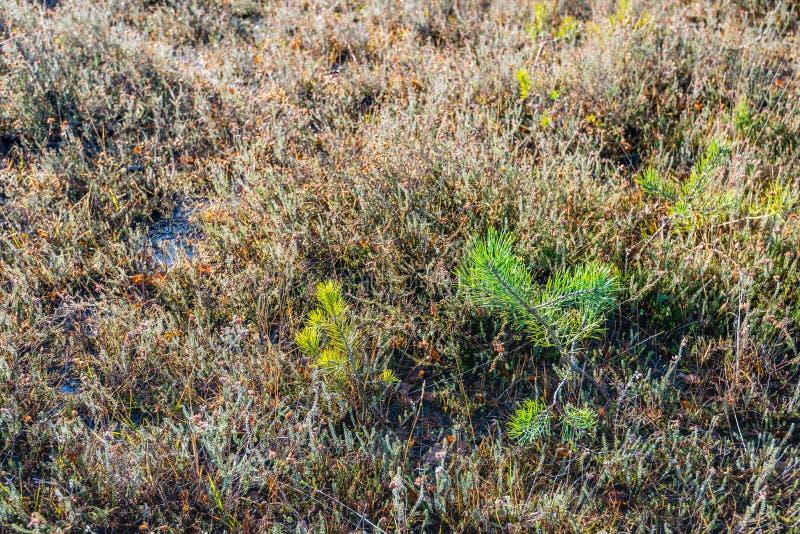 Pinheiros novos entre plantas murchos da charneca fotos de stock