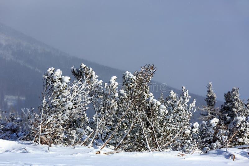 Pinheiros pequenos congelados nas montanhas fotografia de stock royalty free