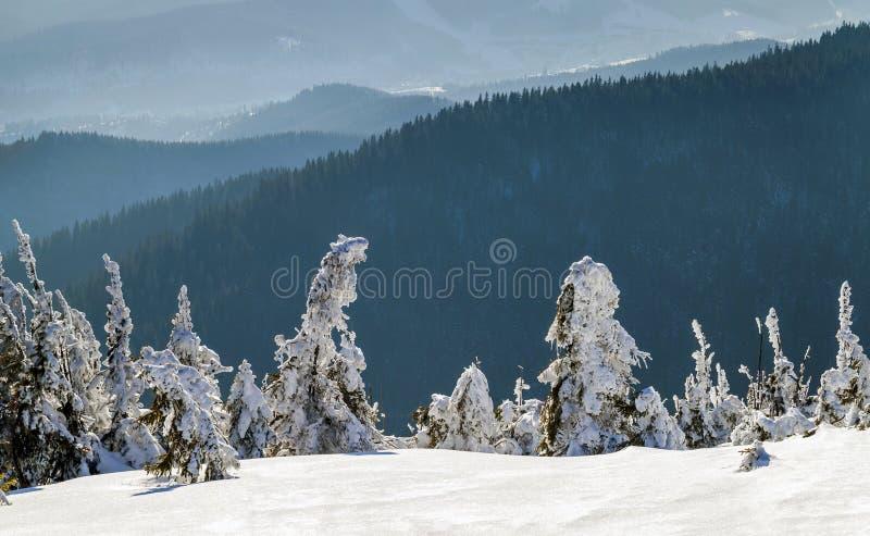 Pinheiros pequenos curvados cobertos de neve em montanhas do inverno ártico imagens de stock