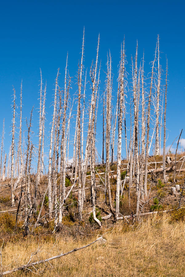 Pinheiros queimados de Polo do alojamento no parque nacional de geleira fotos de stock royalty free