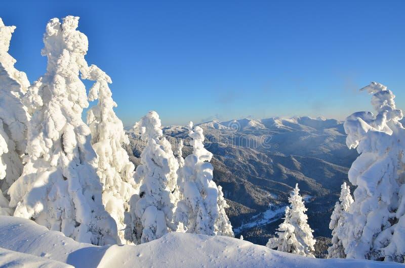 Pinheiros sob a neve na montanha imagem de stock royalty free