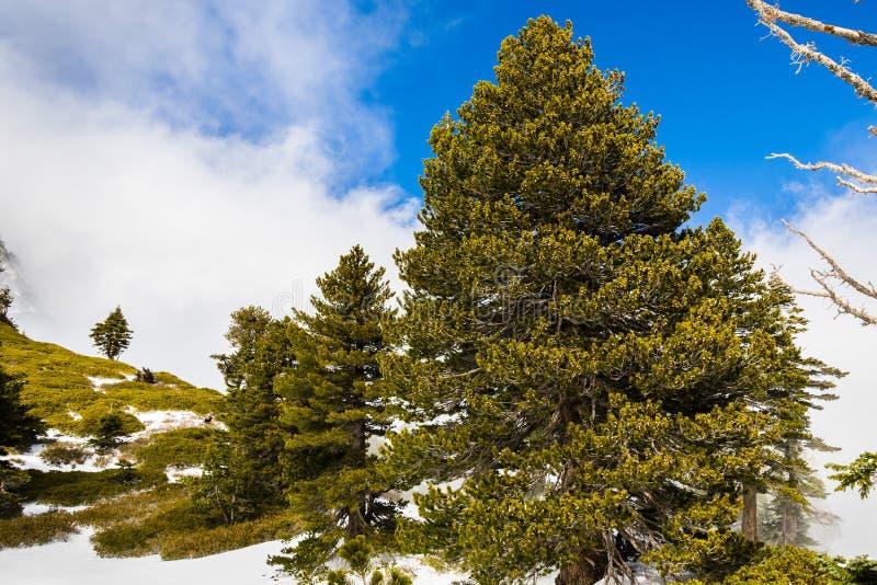 Pinheiros verdes bonitos que crescem nas inclinações da montagem San Antonio (Mt Baldy), Califórnia sul; nuvens brancas e céu azu imagens de stock