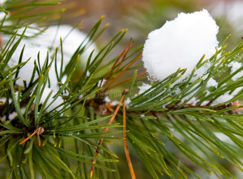 Pinho-árvore sob a neve imagens de stock royalty free
