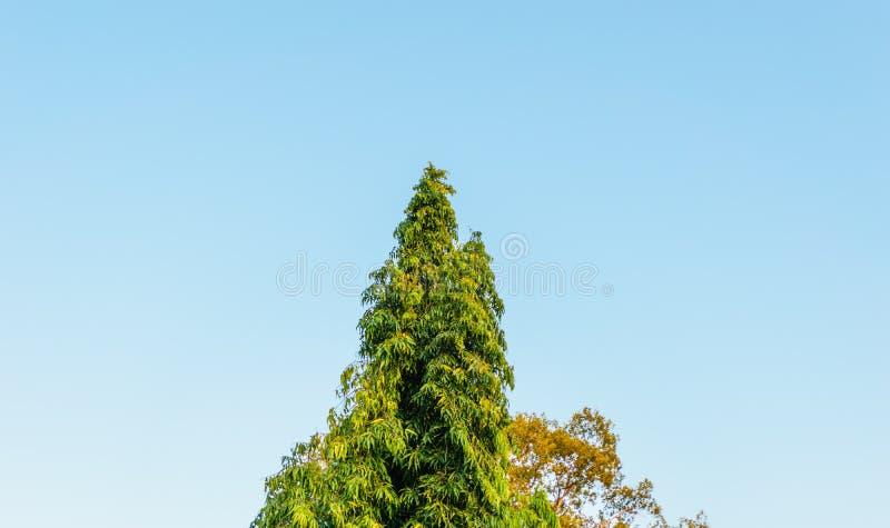 Pinho com céu azul imagens de stock royalty free