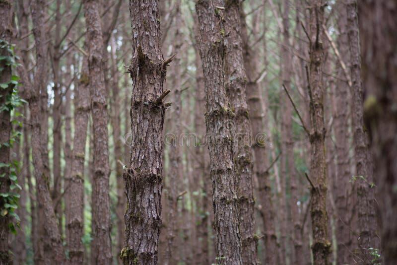 Pinho da floresta fotografia de stock