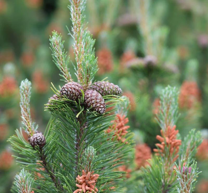 pinho de pinho do pinheiro de montanha de coníferas fotos de stock