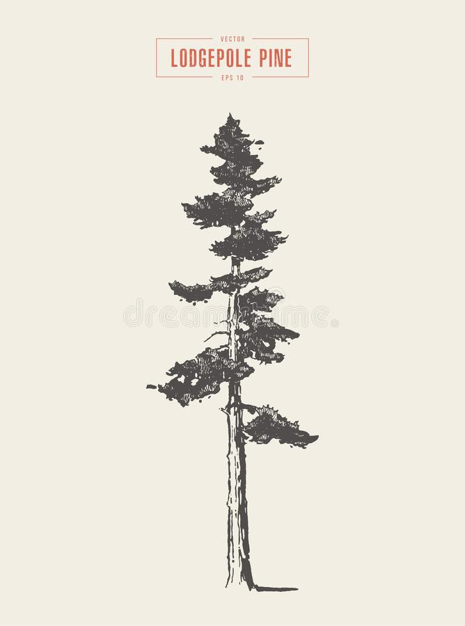 Pinho de lodgepole alto do vintage do detalhe, tirado, vetor ilustração royalty free