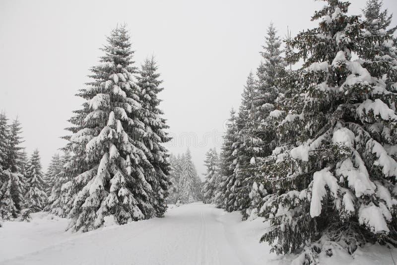 Pinho de madeira da floresta do inverno foto de stock