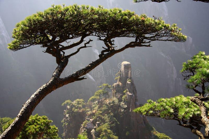 Pinho de montanha de Huangshan imagens de stock