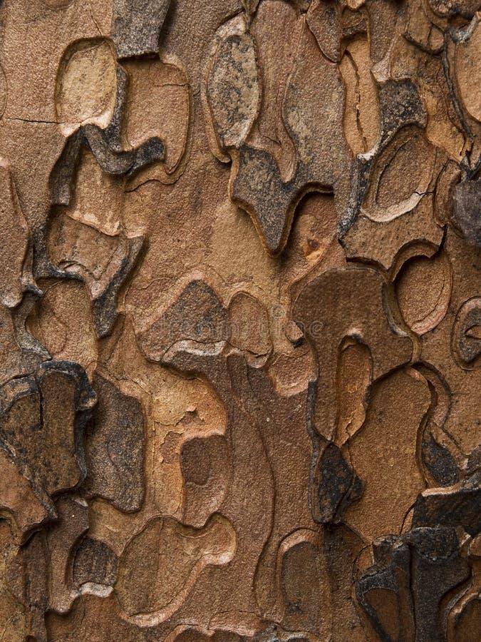 Pinho de Ponderosa (Pinus Ponderosa) imagens de stock royalty free