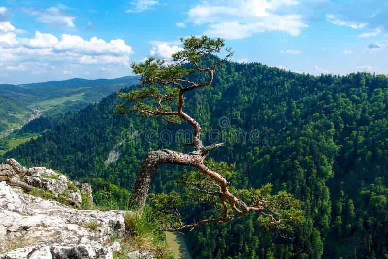 Pinho famoso no pico de Sokolica e rio de Dunajec no Polônia do sul imagem de stock royalty free