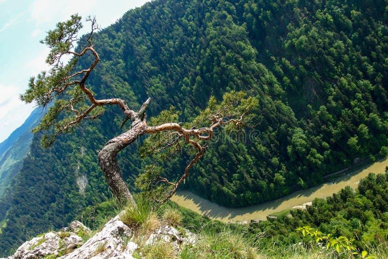 Pinho famoso no pico de Sokolica e rio de Dunajec no Pol?nia do sul imagem de stock royalty free
