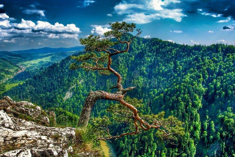 Pinho famoso no pico de Sokolica e rio de Dunajec no Pol?nia do sul imagens de stock royalty free