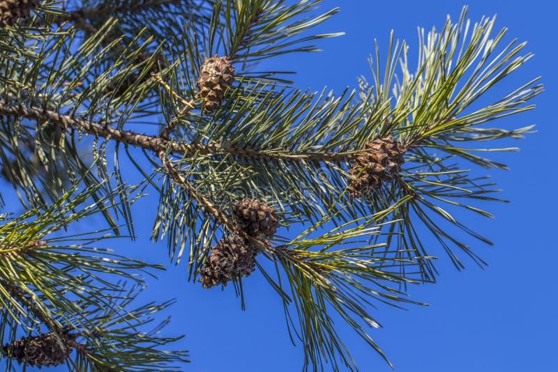 pinho Forest Buds nos ramos fotos de stock royalty free