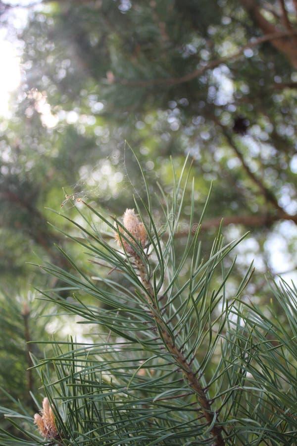 Pinho na floresta protegida da região de Bryansk fotografia de stock royalty free