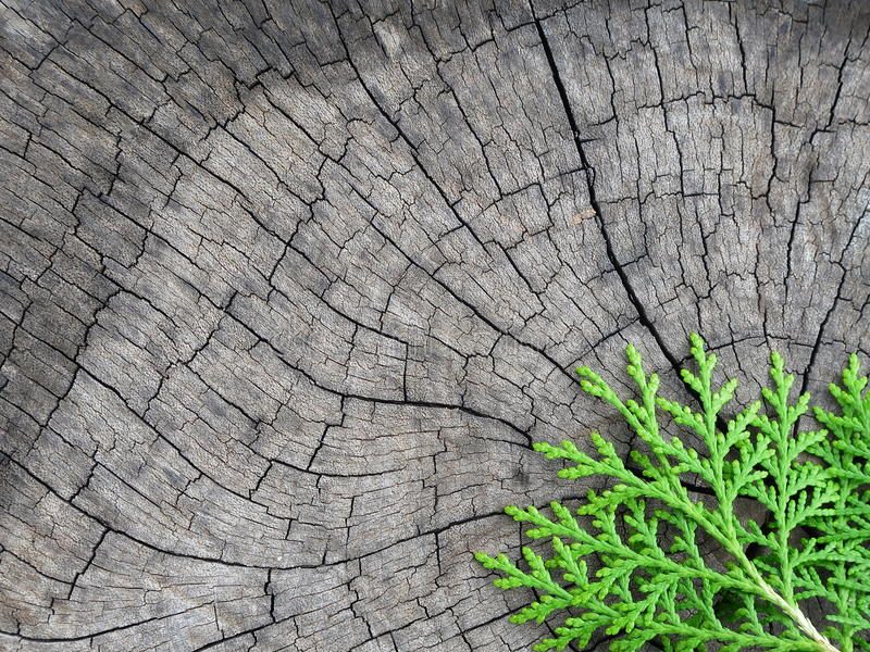 Pinho na madeira velha imagem de stock