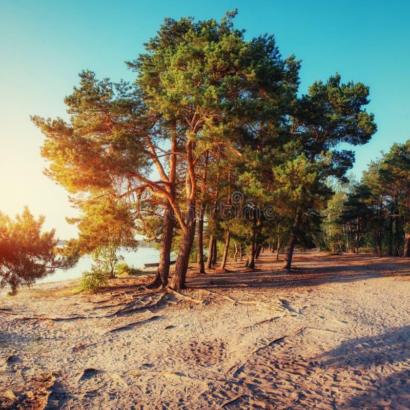 Pinho na praia da areia carpathians ucrânia europa fotos de stock royalty free