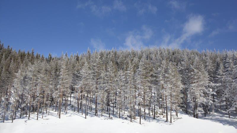 Pinho nevado Forest Landscape do inverno fotos de stock royalty free