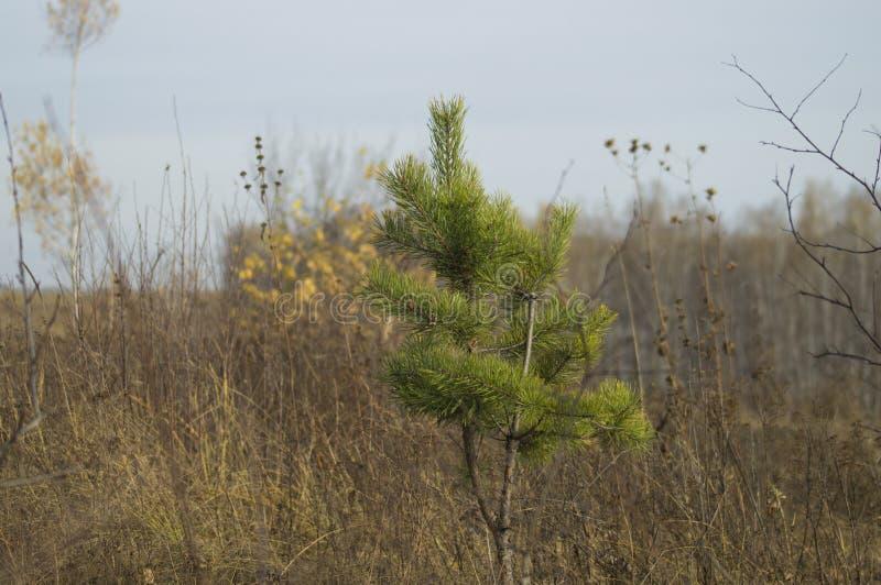 Pinho Siberian pequeno com as agulhas longas verdes apenas fotografia de stock