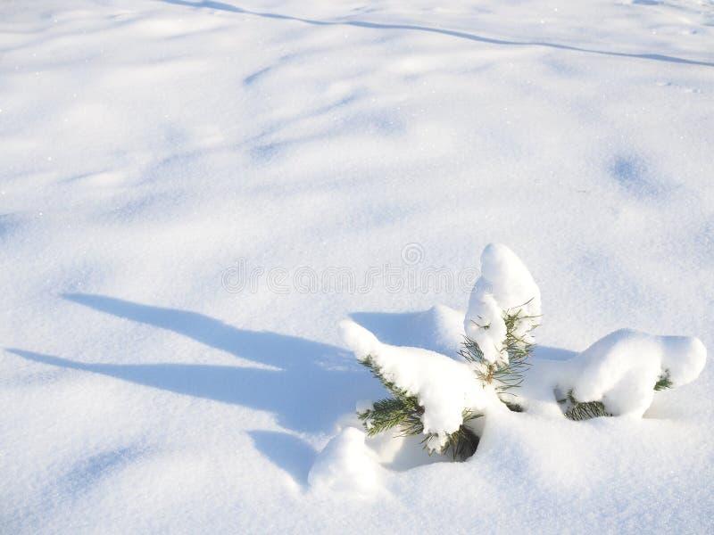 Pinho verde pequeno no inverno na floresta foto de stock royalty free