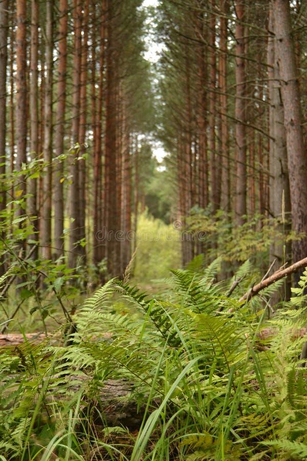 Pinhos altos da floresta do pinho e folhas verdes da samambaia no trajeto Sun O conceito de um outono morno Cogumelos imagem de stock
