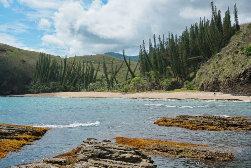 Pinhos da araucária da praia do litoral de Nova Caledônia fotos de stock royalty free