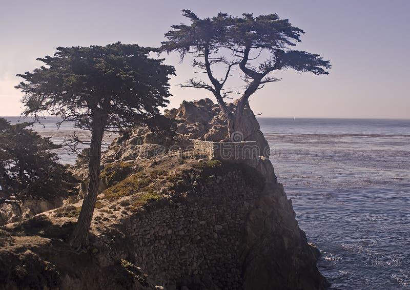 Pinhos de Monterey Cypress fotos de stock