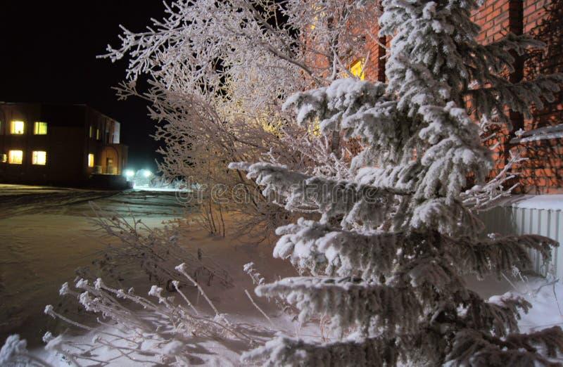 Pinhos de Snowly em Sibéria fotografia de stock
