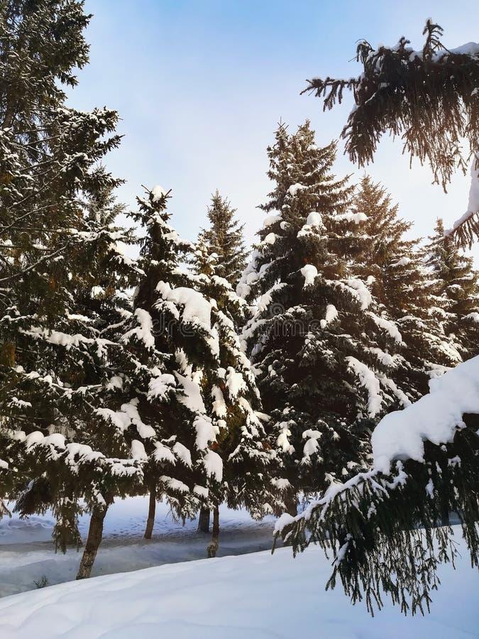Pinhos e árvores na neve, paisagem do inverno em um dia ensolarado imagem de stock