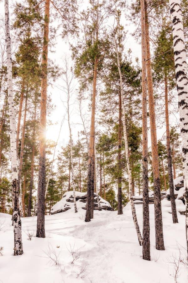 Pinhos e rochas altos na floresta do inverno imagem de stock royalty free