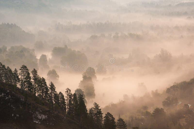 Pinhos encobertos nas névoas nos raios do alvorecer fotos de stock royalty free