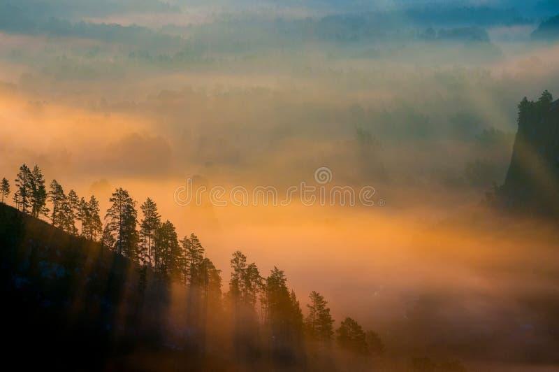 Pinhos encobertos nas névoas nos raios do alvorecer fotografia de stock royalty free