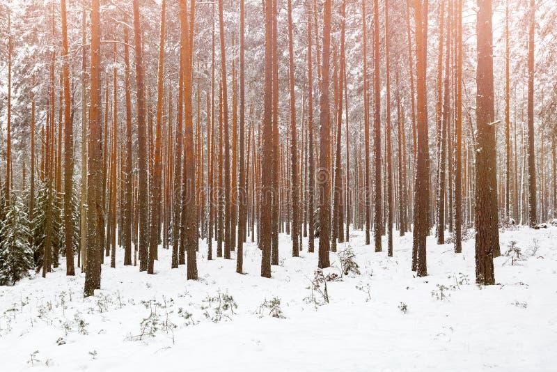 Pinhos enormes altos da floresta do inverno do pinho na luz solar fotografia de stock royalty free