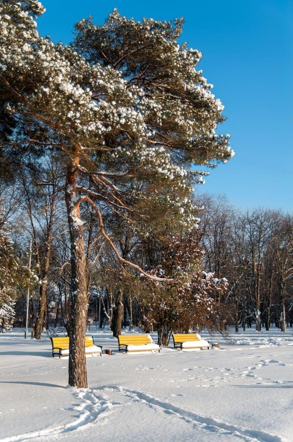 Pinhos na neve no fundo de três bancos amarelos fotografia de stock royalty free