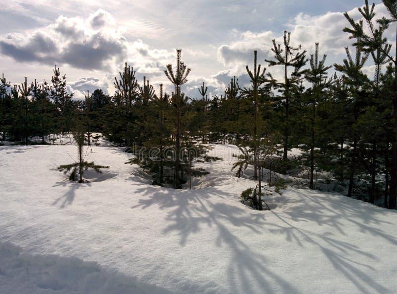 Pinhos novos na neve de abril fotos de stock royalty free