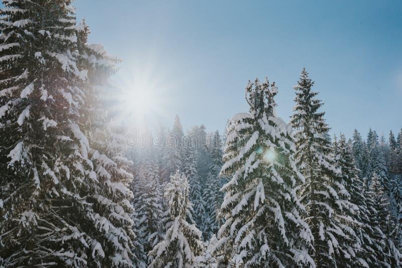 Pinhos sobre a montanha coberta com a neve no nascer do sol imagem de stock royalty free