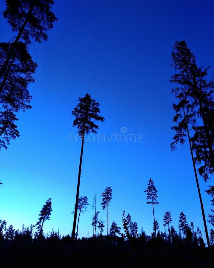 Pini blu fotografie stock