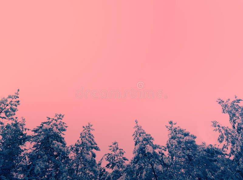 Pini coperti di neve contro il cielo rosa immagine stock
