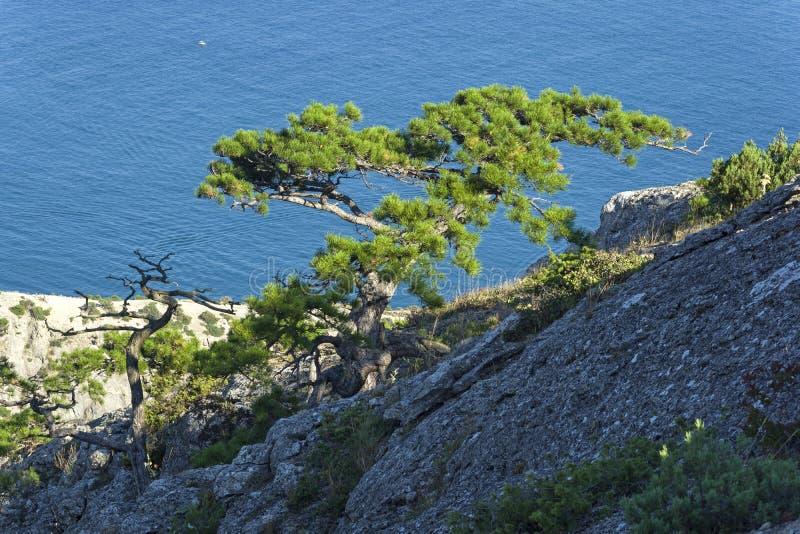Pini del relitto sulle rocce costiere contro il mare immagine stock libera da diritti