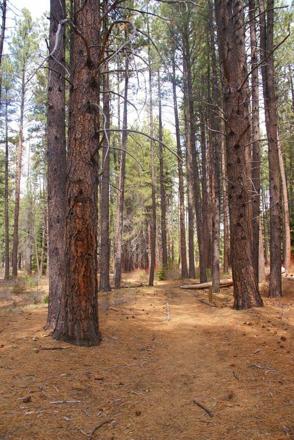 Pini di Ponderosa e pavimento della foresta fotografie stock