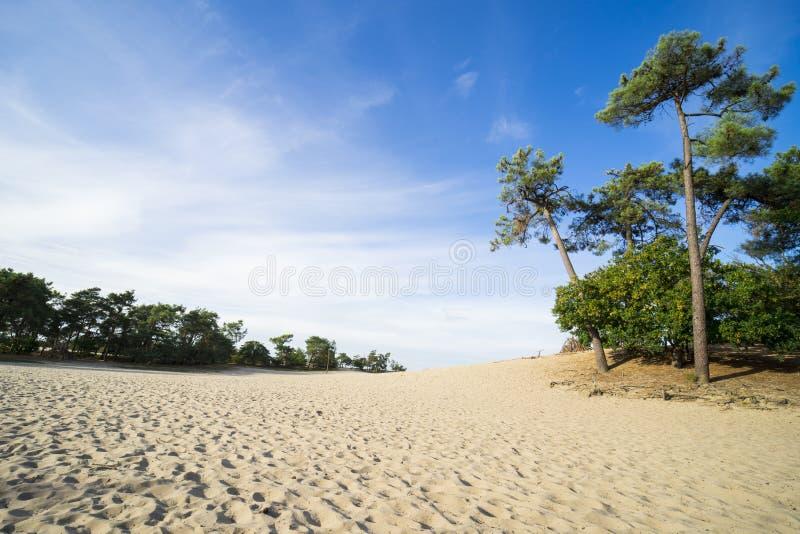 Pini e percorso della sabbia in parco nazionale Loonse e Drunense Duinen, Paesi Bassi immagine stock libera da diritti