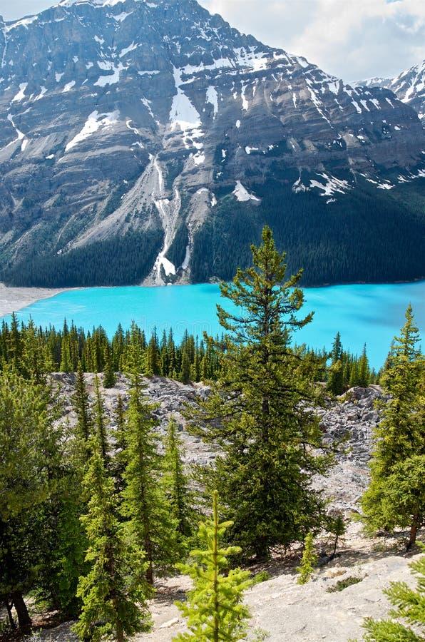 Pini ed acqua del turchese di un lago Peyto della montagna fotografia stock