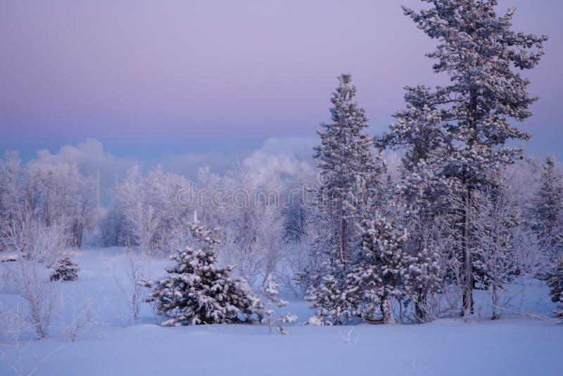 Pini innevati contro il cielo di alba Inverno oltre il Circolo polare artico fotografie stock
