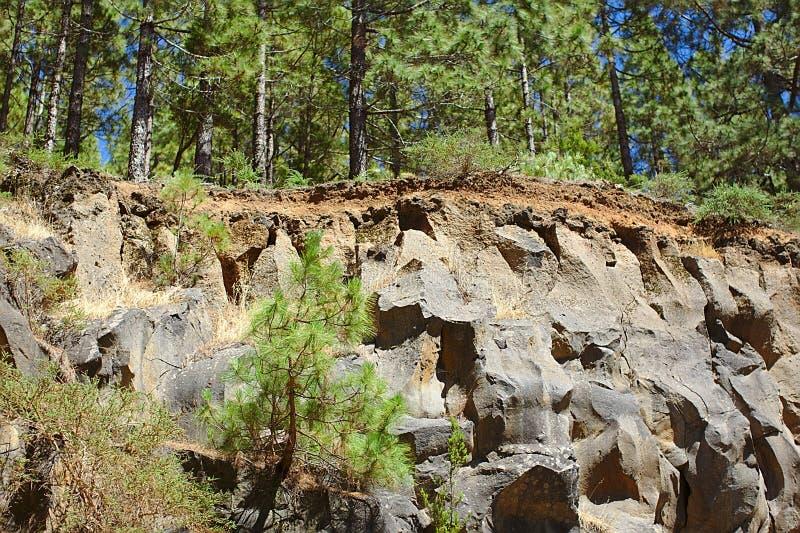 Pini nel parco nazionale, sulla montagna, sulla scogliera, sulle foto della natura e sul paesaggio Tenerife fotografia stock libera da diritti