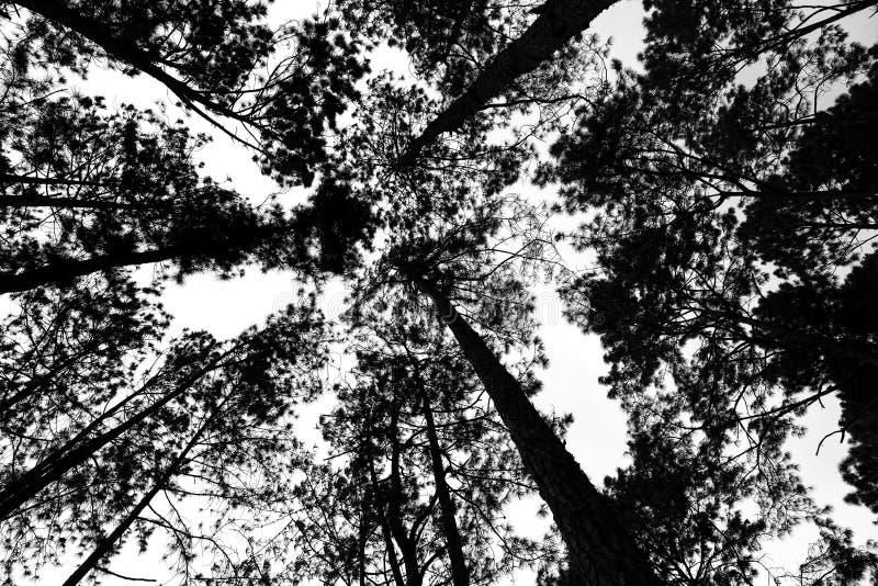 Pini nella foresta, immagine in bianco e nero immagini stock