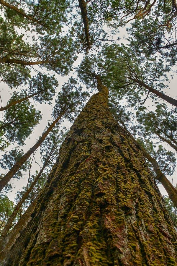 Pini nella foresta media di Java fotografia stock libera da diritti