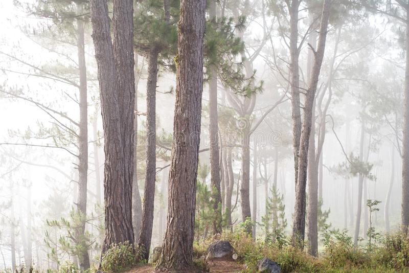 Pini a Sagada, provincia della montagna, Filippine fotografia stock libera da diritti